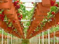 Как вырастить урожай клубники зимой